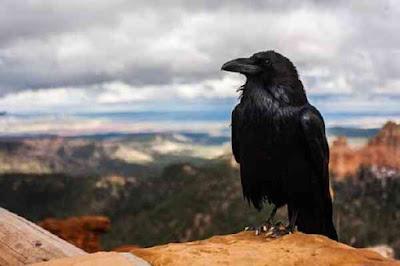 حقائق مثيرة عن الغربان - الجزء الثاني