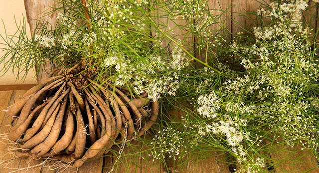 Shatavari Plant