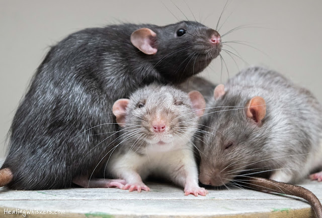 Franklin, Vincent, and Xavier the pet rats