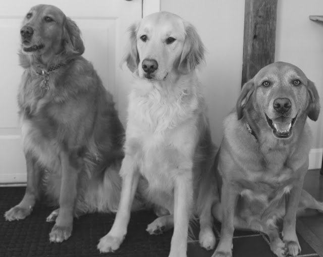 golden retriever dogs, siblings day, #blackandwhitesunday