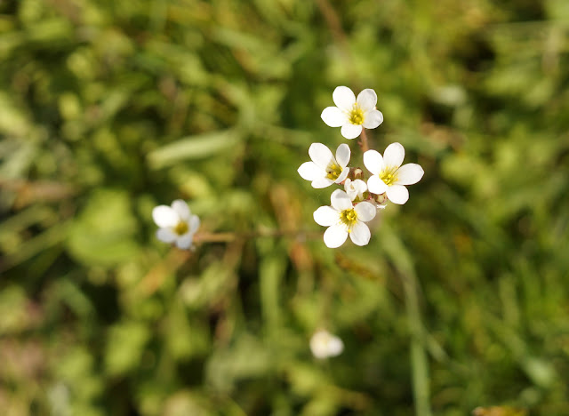 meadow saxifrage in bloom