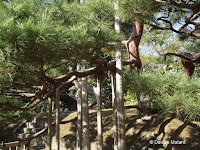 300 year old pine network of supports - Hama-Rikyu Garden, Tokyo, Japan