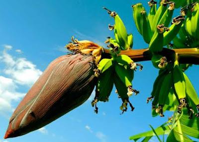 cara menanam buah pisang