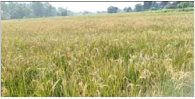 धानभन्दा भुस धेरै भएपछि किसान पीरमा