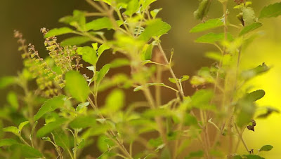 tulsi leaves will reduce acne in summer