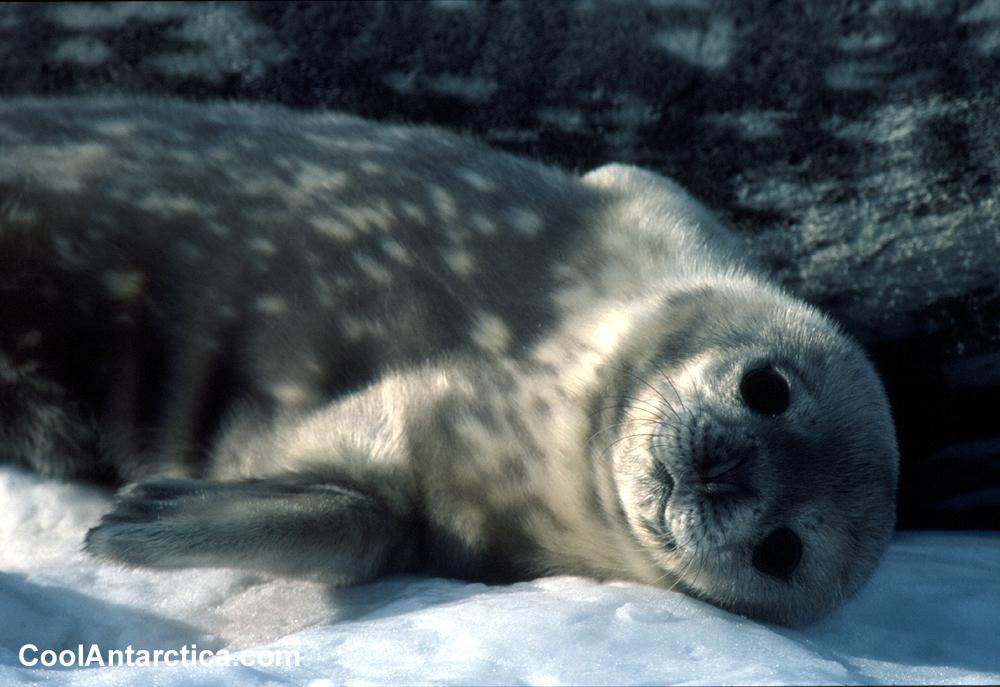 Weddell Seals Snow Animal Info All Wildlife Photographs