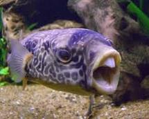 buntal Jeni-Jenis Ikan Predator Air Tawar