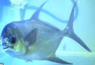 Potensi Bisnis Dan Budidaya Ikan Bawal Bintang