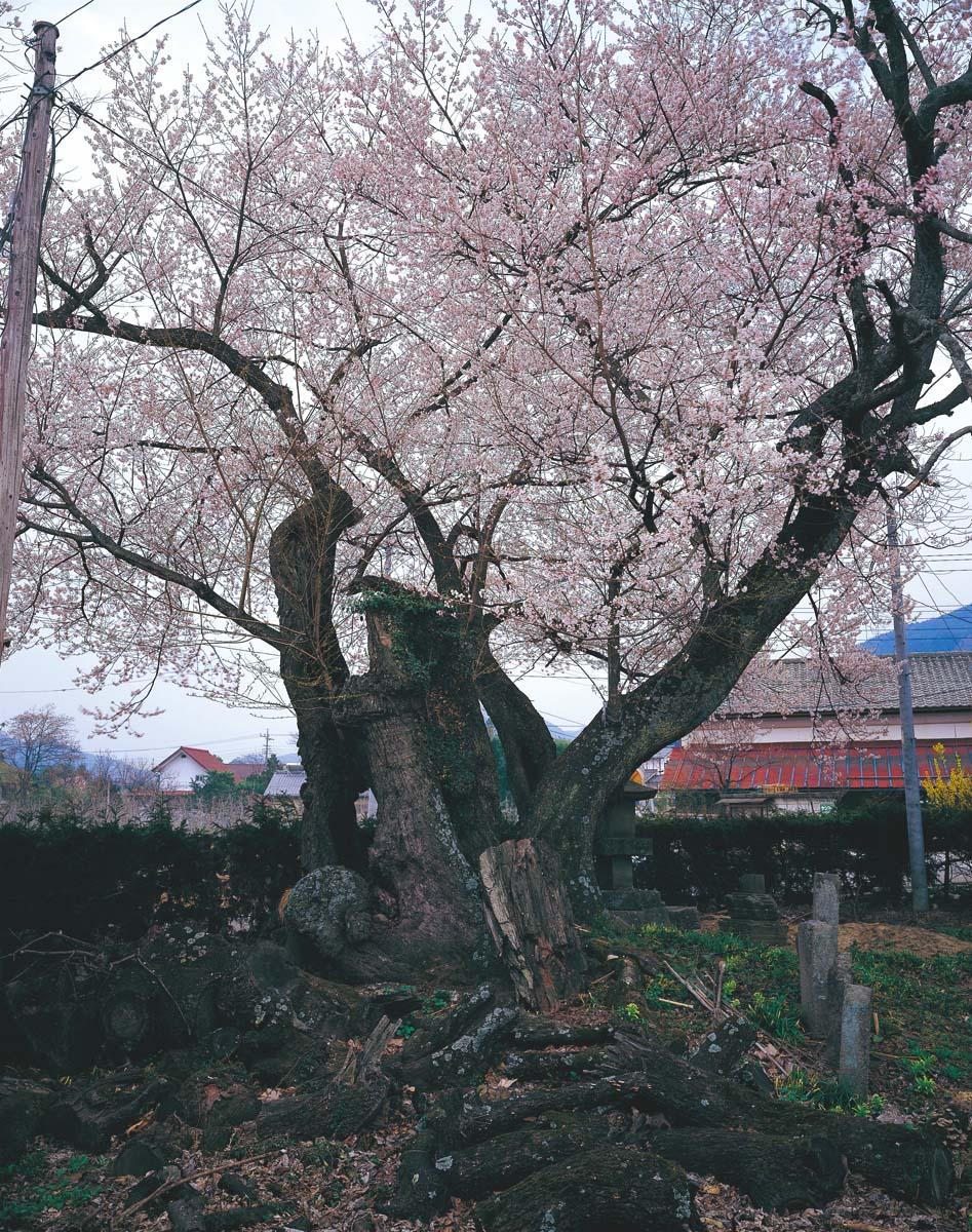 群馬県、上津の姥桜 | 桜巨木巡...