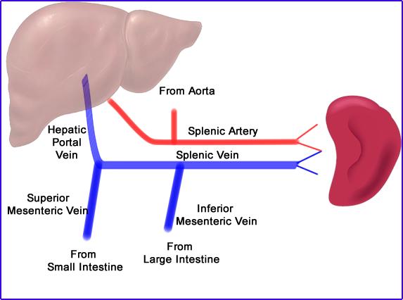 Spleen vessels. Spleen blood supply. Nerves and innervation of the spleen