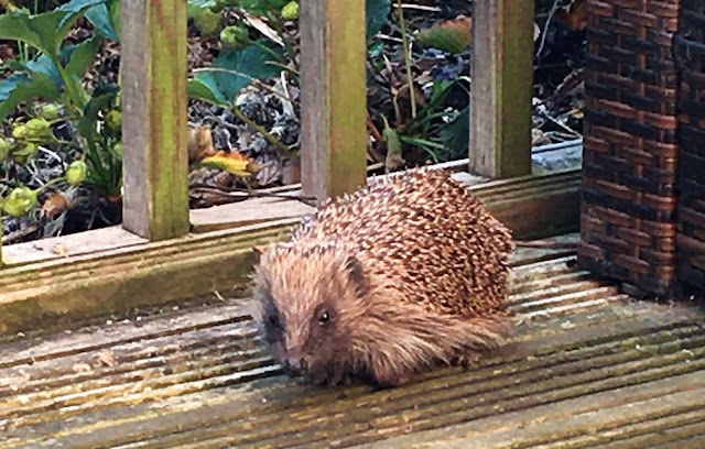gardenhedgehog wild uk