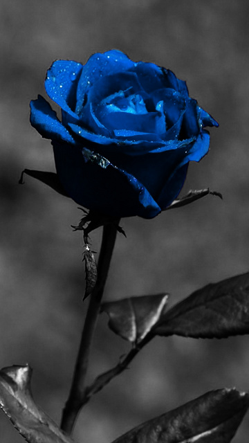 Mobile wallpapers iphone wallpapers hd wallpapers - Blue rose hd wallpaper download ...