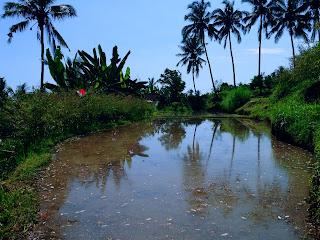 Watering Paddy Field Landscape