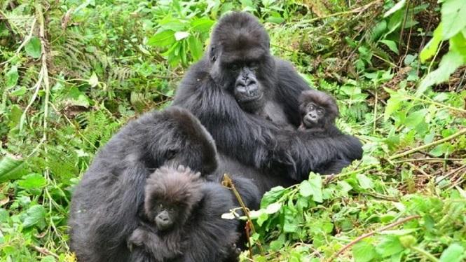 Sorpresa y preocupación: dos gorilas se contagiaron de coronavirus