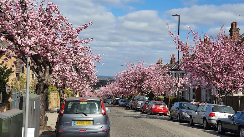 回程在 Cranley Gardens 發現的櫻花景點
