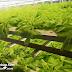 Greenbugsfarm, Hydroponic Farming Malaysia @ SS2, Petaling Jaya