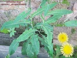 ialah salah satu tumbuhan yang masuk kedalam daftar tumbuhan obat tradisional Indonesi Tempuyung (Sonchus arvensis L.)