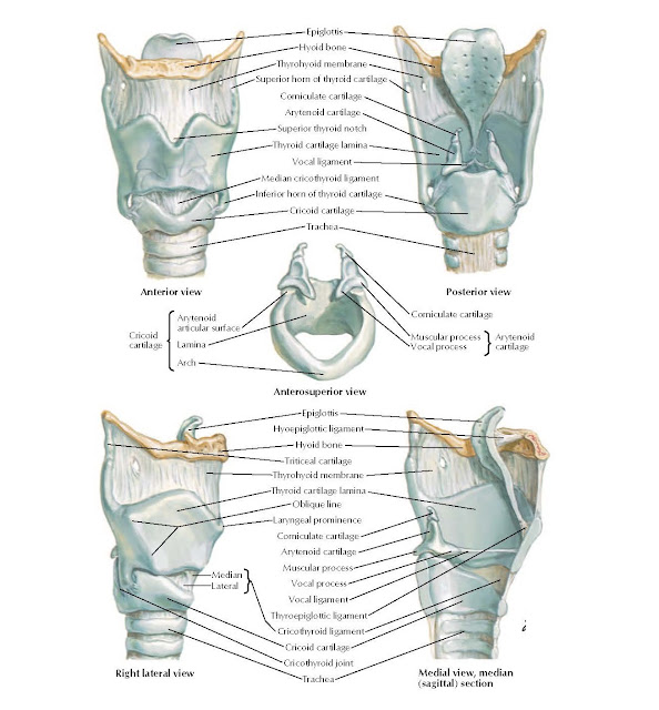 Cartilages of Larynx Anatomy