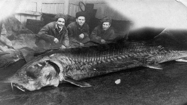 Улов алуштинских рыбаков. 1950-е.