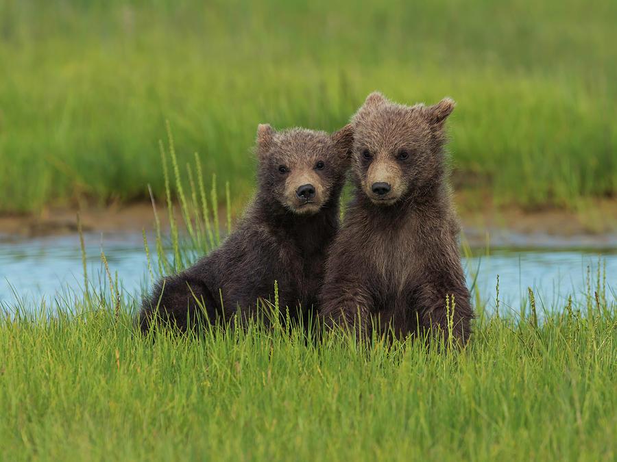 Renungan Harian: Sabtu, 19 September 2020 - Dua Ekor Beruang