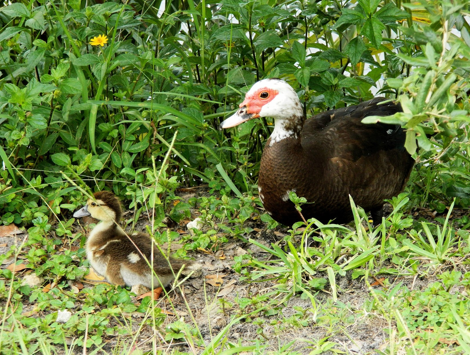 A baby Muscovy is lost and another is abandoned | Backyard World