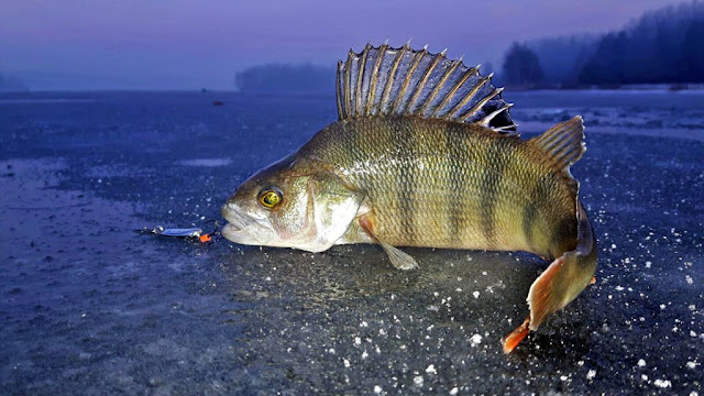 photo of perch caught in winter