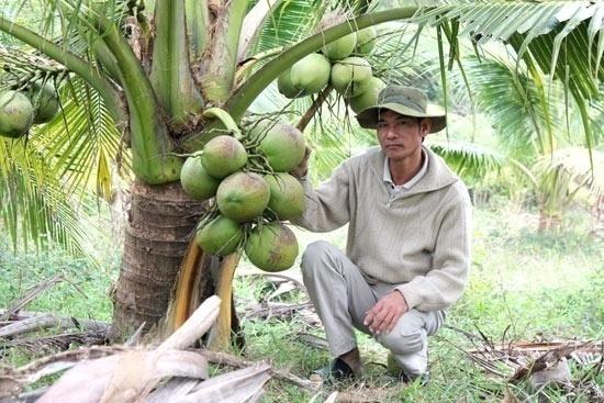 Quảng Ngãi Trồng dừa dứa nông dân thu nhập cả trăm triệu đồng mỗi năm