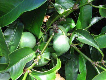 Đằng Hoàng - Garcinia hanburyi - Nguyên liệu làm thuốc Nhuận Tràng và Tẩy