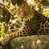 chincha the jaguar - Tiger wide hd Animal wallpapers