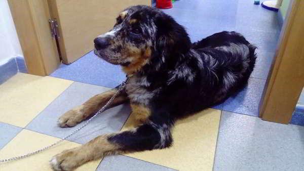 cachorro cruce pastor australiano