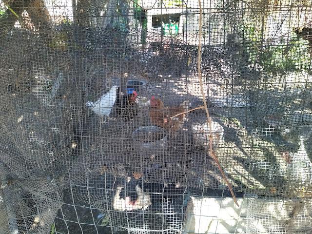 Θεσπρωτία: Θεσπρωτικές οικογένειες έχουν στα σπίτια τους λίγες κότες, λίγα προβατάκια, καλλιεργούν και κήπους...