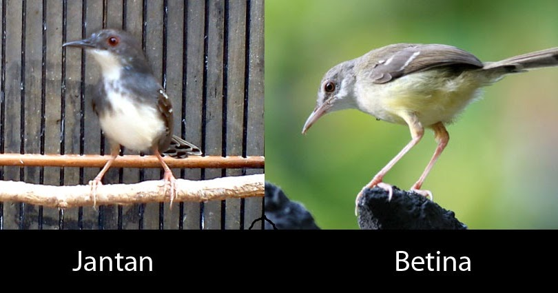 membedakan ciblek jantan dan betina burung master
