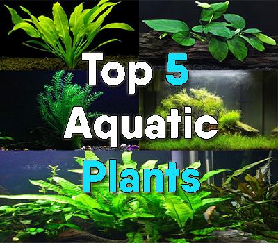 Top 5 true aquatic plants