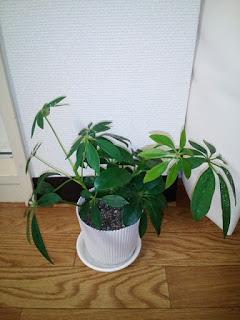 観葉植物の画像(植え替え後)2