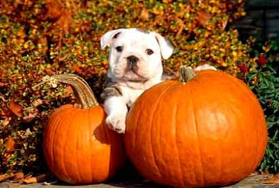 Pumpkins for Dogs: Is pumpkin Actually Good for dogs?