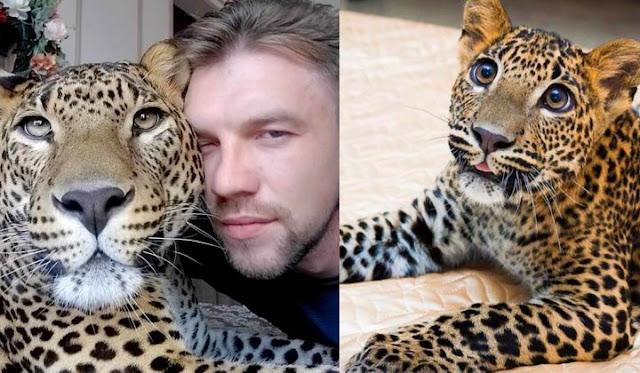 Служитель зоопарка выкупил больного детёныша леопарда и поселил его в своей квартире