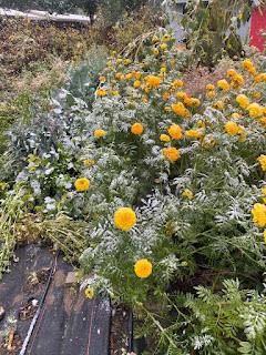 Snow on Marigolds