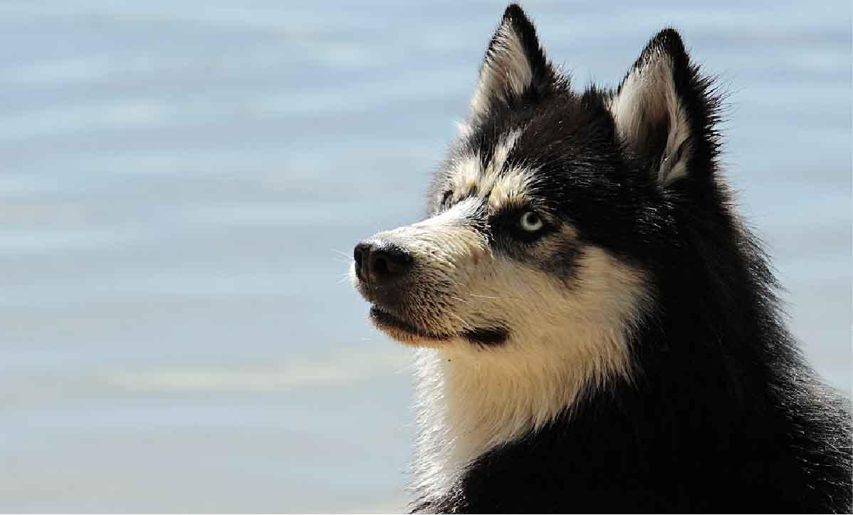 le chien berger australien, race de chien, animal de compagnie, chien de compagnie, races de chiens, chiot, aussies, berger américain miniature, chien de chasse, Husky Siberien, Huskies