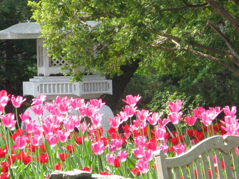 Royal Botanical Gardens pink tulips by garden muses-not another Toronto gardening blog