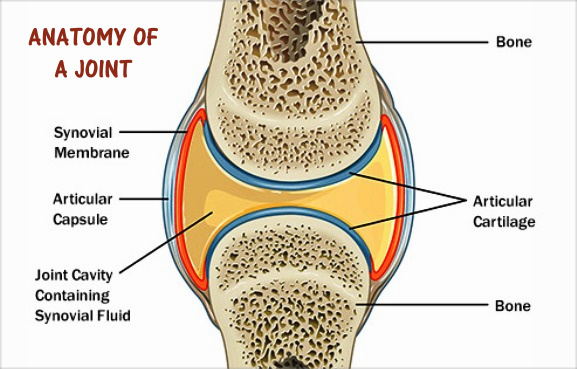 Anatomy Of The Joint