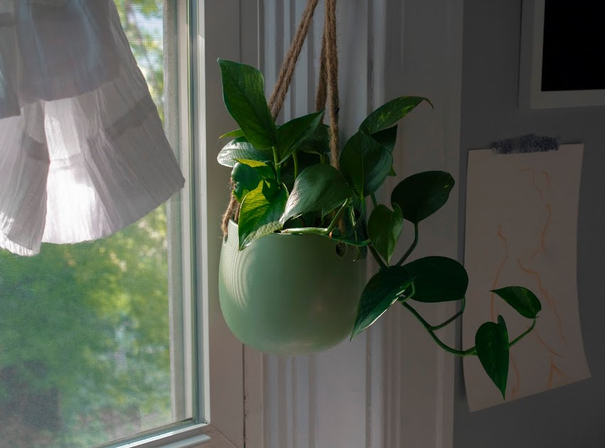Pothos is the Perfect Plant