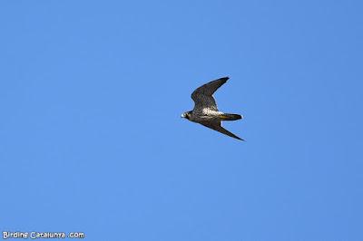 Falcó pelegrí (Falco tinnunculus)