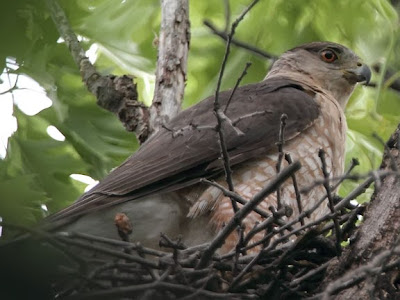 Cooper's Hawk on Nest