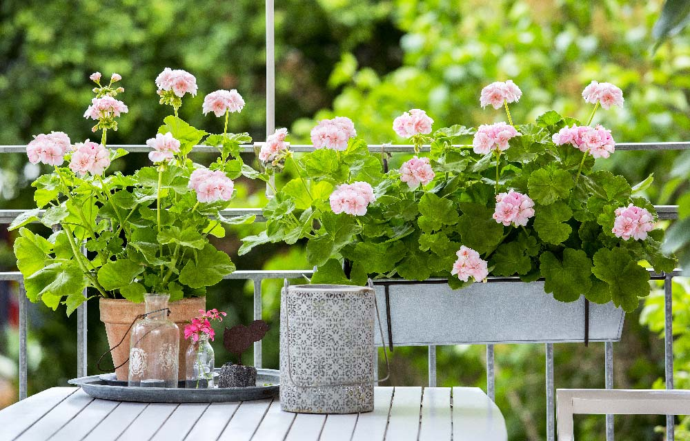 Gerani i fiori da balcone per eccellenza blog di for Fiori da balcone perenni