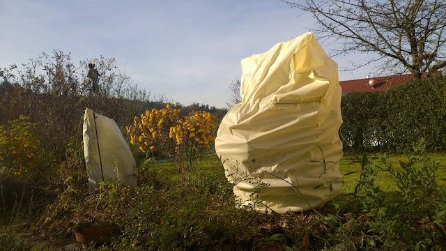 Zitrone und Eukalyptus mit Winterschutz (c) by Joachim Wenk