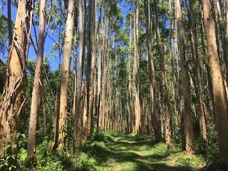 vender madera eucaliptos