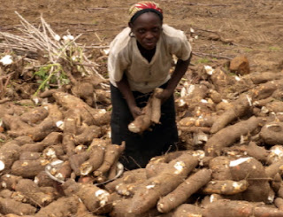 Growing cassava in Africa