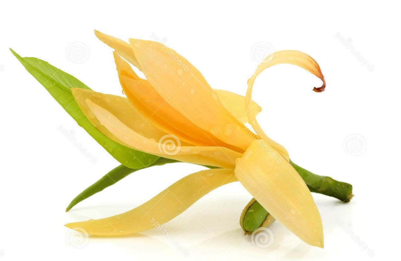 Gambar Bunga Cempaka Yang Indah | Kumpulan Gambar