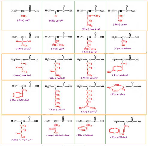 الصيغ الكيميائية المفصلة للأحماض الأمينية