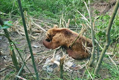 Έσωσαν αρκούδα που πιάστηκε σε παγίδα για αγριογούρουνα